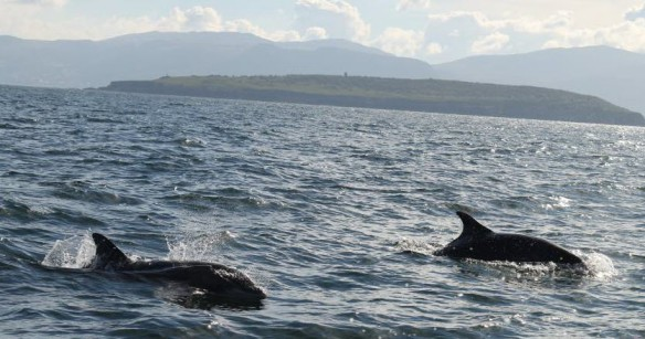 Anglesey Dolphins